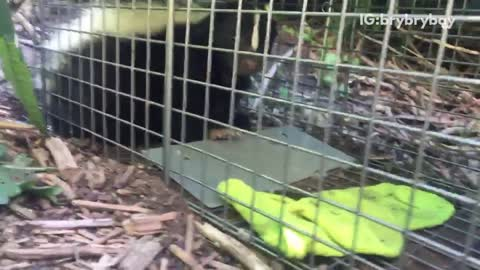 Man scared of skunk in cage outside