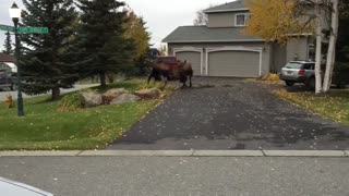 Moose Fight - Video
