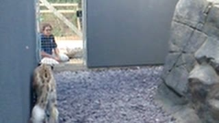Snow Leopard Jumps on Walls - Video
