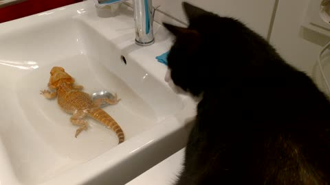 Bearded Dragon Shoos Off A Kitty Intruding His Bath