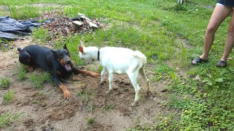 Doberman Pinscher and Baby Goat Play