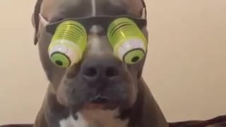 Pitbull ready for a fancy party - Video
