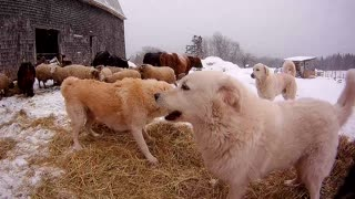 Guard dogs play in hay meant for sheep and cattle