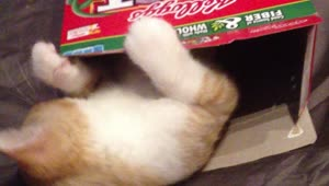 Cat enjoys the inside of a cereal box - Video