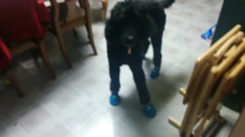 Big dog struggles to walk in his mittens