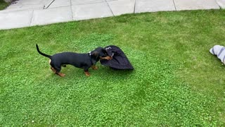 Hilarious Dachshund Sausage Dog runs around the garden with a hat on his head