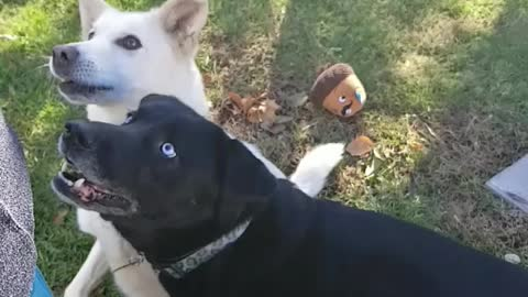 Rude dog pushes friend