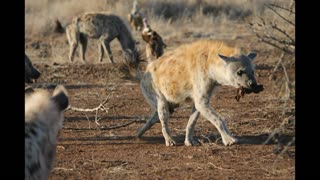 Laughing hyenas  - Video