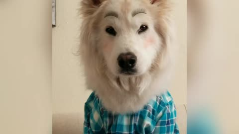 This Fabulous Husky Got A Terrific Makeover