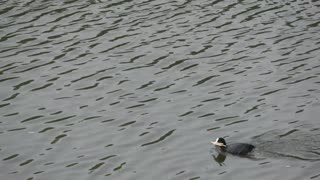Super Cute COOT fetches the sticks