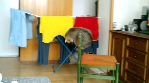 Playful cat demonstrates impressive acrobatic skills