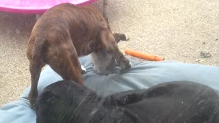 Playful boxer disrupts old boys nap. He is trying to rip up the bed.  - Video