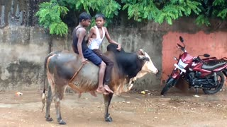 small boys ox ridding  - Video