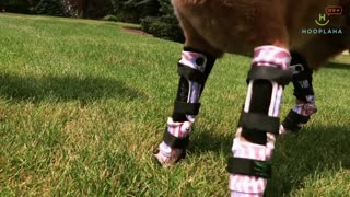 A Medical Miracle Gives New Life To This Amazing Bionic Dog - Video