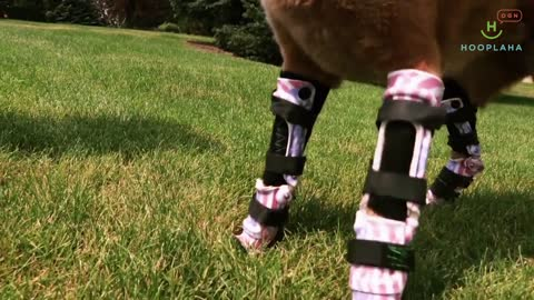 A Medical Miracle Gives New Life To This Amazing Bionic Dog