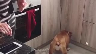 Brown bulldog runs into kitchen cupboards trying to catch light - Video