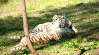 White tiger cubs playing with each other 2021