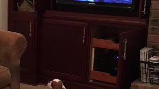 Tv brown and white long eared small dog barking at shrek movie