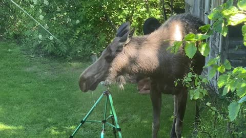 Moose on a Hot Day