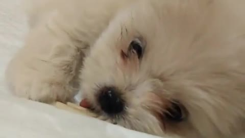 Small white dog puppy trying to eat white dental treat