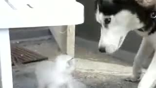 dog and cat playing with each other amazing  - Video