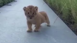 BABY LION ROAR - THIS IS SO CUTE  - Video