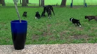 Boxer Puppies Play with Dad