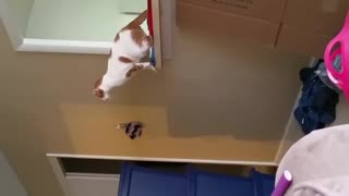 Collab copyright protection - white cat jumping falls down - Video