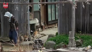 Aoshima: Japanese Cat Island - Video