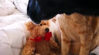 A dog takes a soft toy from cat.