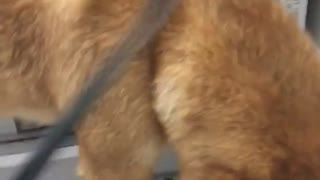 Brown dog gets fry with hair dryer - Video