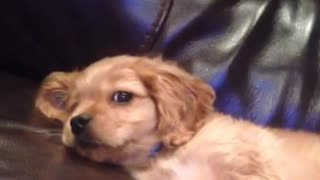 Tan puppy laying in tan sofa sticking tongue out  - Video