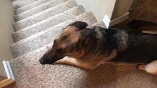 Hilarious reaction by dogs after there where busted chewing on the wall  - Video