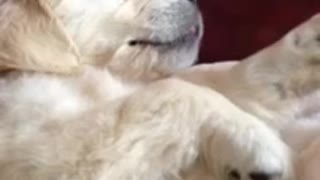 Dreaming puppy thinks she's feeding in her sleep - Video
