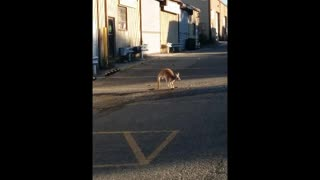 A Kangaroo on the Loose in Staten Island? - Video