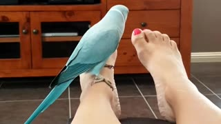 Weird parrot obsessed with owner's feet