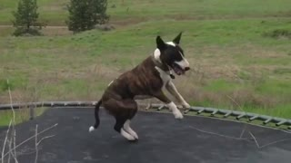 Bull Terrier Merrily Jumps On Trampoline