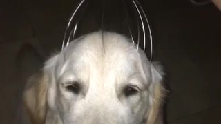 Labrador purple head massage - Video