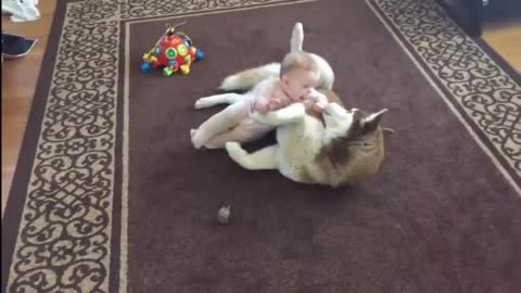 Dog and Baby - Husky Gently Plays With Baby