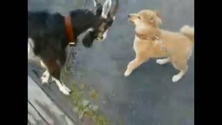 Duel of a goat and a dog.