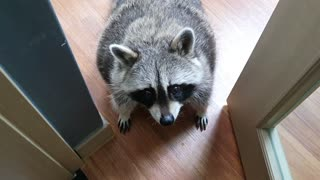 Pet raccoon makes it clear that he wants the door to stay open