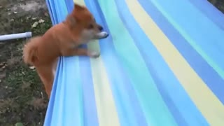 Dog Puts Up A Desperate Struggle To Relax On The Hammock
