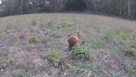 Funny Reaction of This Little Dog Wearing A GoPro