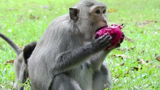 Monkey Eating Dragon Fruit Red On Mouth