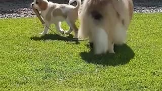Puppy walking dog with leash - Video