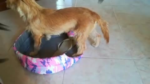 Two dogs Fighting each other in Funny way