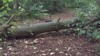 Dachshund athletically jumping over a log in slowmotion  - Video