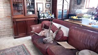 Exhausted Weimaraner Sleeps In Hilarious Position