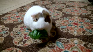 Guinea Pig in the Kitchen - Video