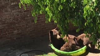 Mama Bear and Cubs Hanging Out in Kiddie Pool
